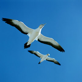 albastru și aripi