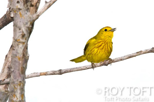 Golden Warbler - endemic to Cozumel, Yucatan Peninsula, Mexico