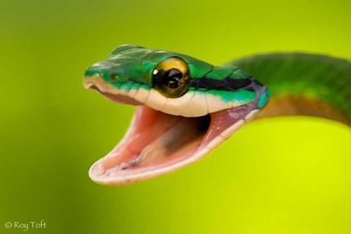 Parrot Snake Wallpaper