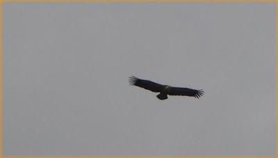 El majestuoso vuelo del Buitre que nunca deja de admirarse
