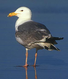 Herring Gull-- Secondary Consumer