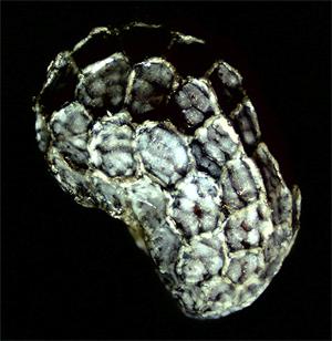 Poppy Seed Under Microscope