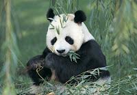Panda géant mangeant du bambou