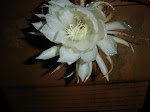 Epiphyllum oxypetalum