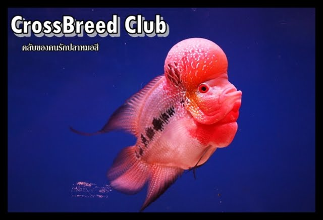 ปลาหมอสี Crossbreed