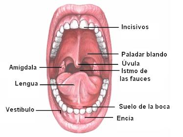 Anatomía y filosofía del Sistema Digestivo