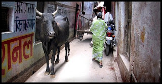 Cow in Varanasi
