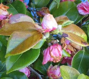 Camellia Killer