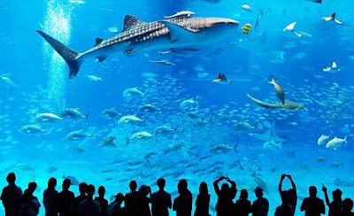 The fish tank that's so big it can hold FOUR whale sharks 03