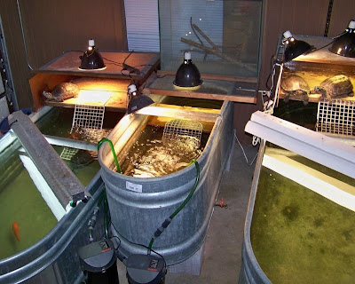 stock tank for turtles. i keep all my big turtles in cattle watering, \ stock tank for