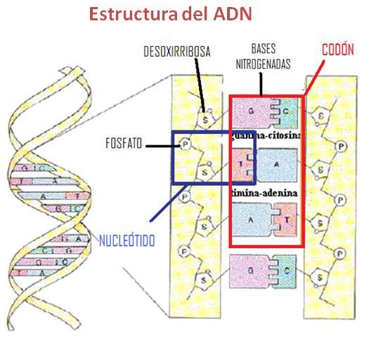 El ADN es un ácido nucleico formado por nucleótidos. Cada ...