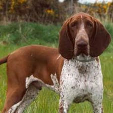 Bracco-Italiano-photos