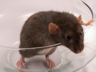 pet -rat