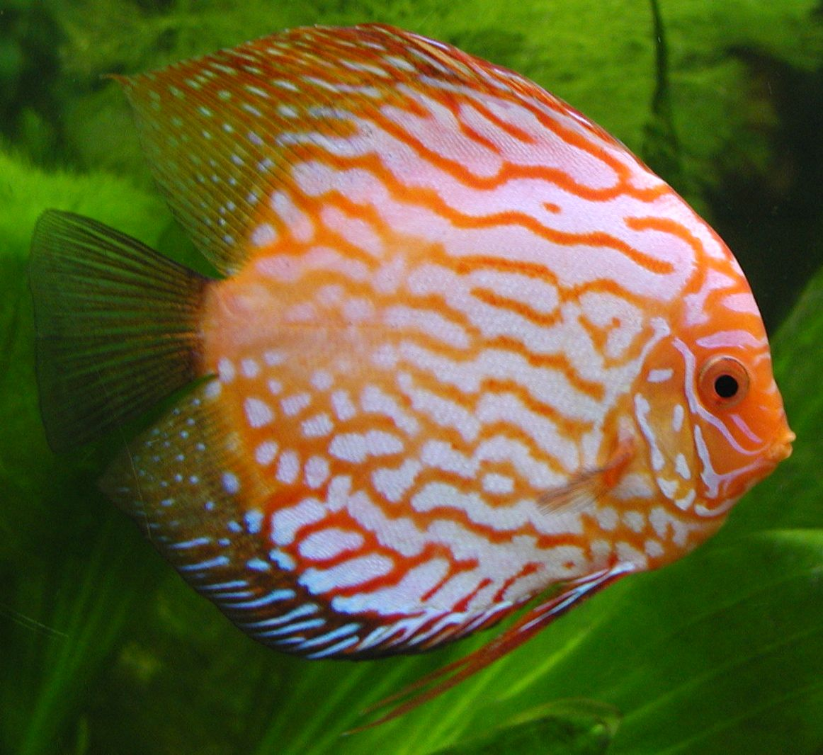 the discus fish