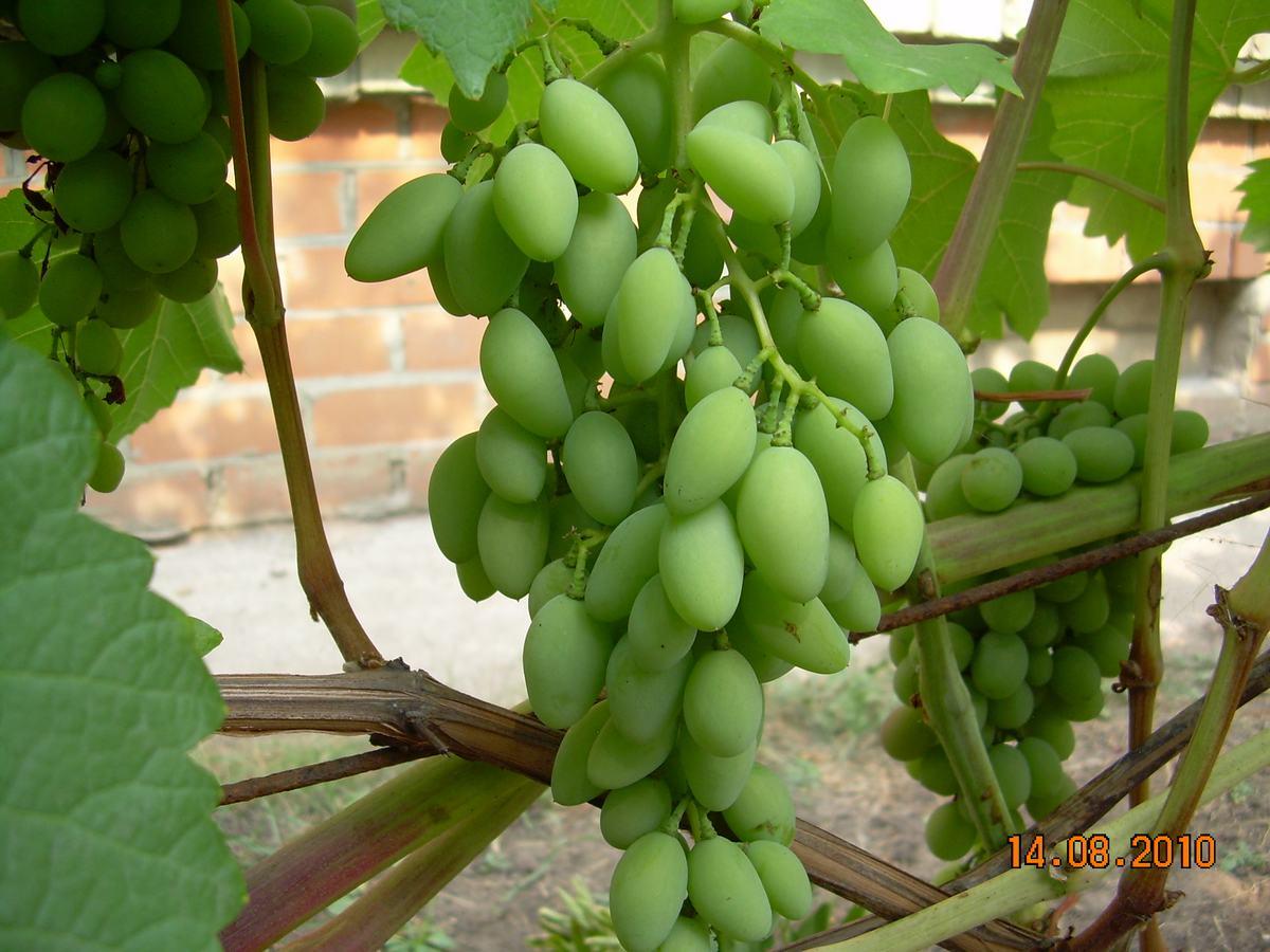 Сорт винограда – Чауш белый