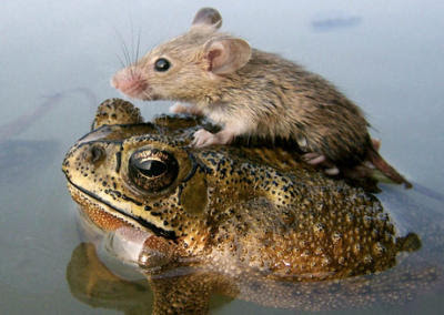 Mouse Rides Frog in India Monsoon