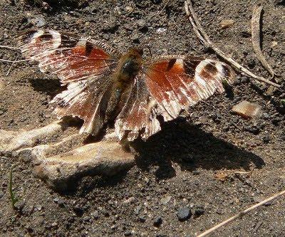Nedslidt sommerfugl
