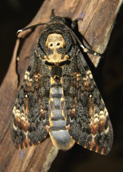 Dødningehoved aftensværmer - Acherontia atropos