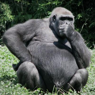 Gorilla in Deep Thought - Liz Stablein Photos