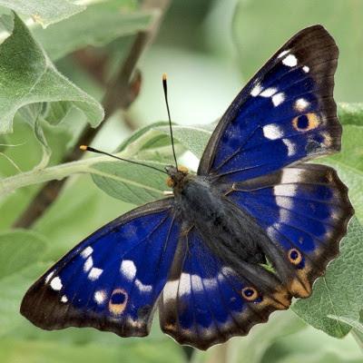 Blå iris-sommerfugl - Purple Emporor (Apatura iris)