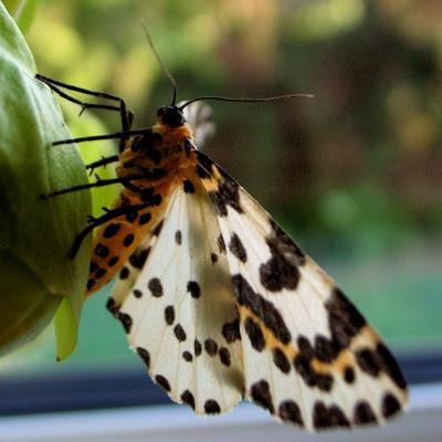 Hvid harlekin sommerfugl - Stikkelsbærmåler - Abraxas grossulariata