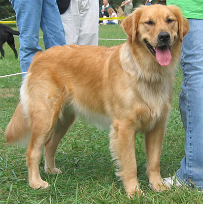 La mejor forma de adiestrar y tratar a tu perr golden for Dog house for labrador retriever
