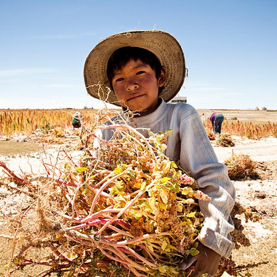 How to harvest quinoa