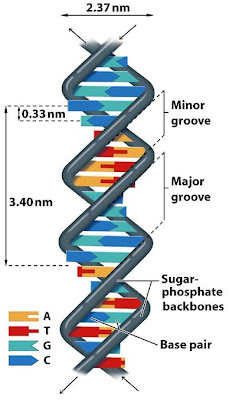 Sandwalk dna denaturation and renaturation and the role of hydrogen several students have written to me with questions about the structure of dna the most troubling questions are from students who have read the article i ccuart Choice Image