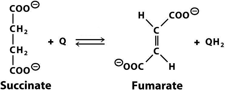 succiante dehydrogenase 602413 - succinate dehydrogenase complex, subunit c, integral membrane protein, 15-kd sdhc - succinate dehydrogenase 3, integral membrane subunit sdh3 succinate dehydrogenase cytochrome b - sdhc.
