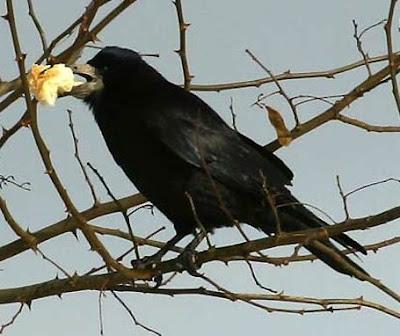 corbeau-freux