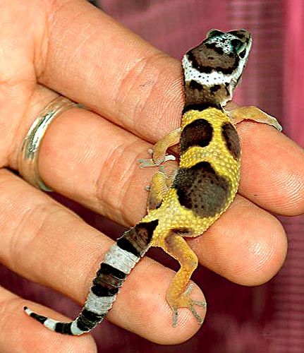 baby-leopard-gecko_sean-odell