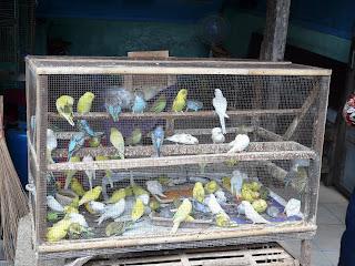 Bird Market Kraton, Yogyarkarta