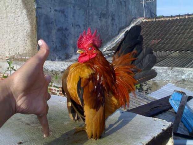 Contoh Usaha Sampingan 2014 yang Menguntungkan Beternak Ayam Serama