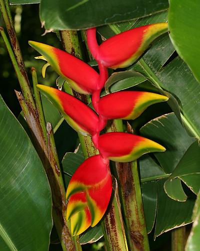 fotos jardins tropicais : fotos jardins tropicais:trilhadomato: [ Plantas Ornamentais ] Helicônias
