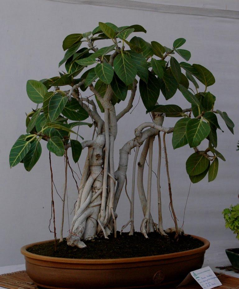 http://4.bp.blogspot.com/_D_FJU15AaxA/SxI3b3fYpvI/AAAAAAAABfc/d7TAtonu2I0/s1600/bonsai.JPG