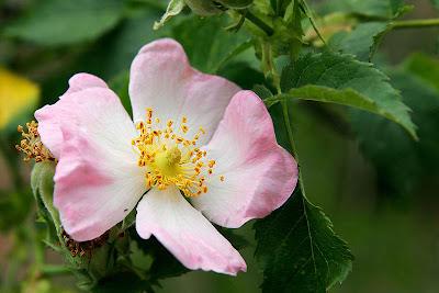mawar+indah+bunga