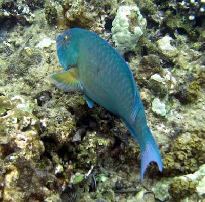 Star-eyed Parrotfish, Maui