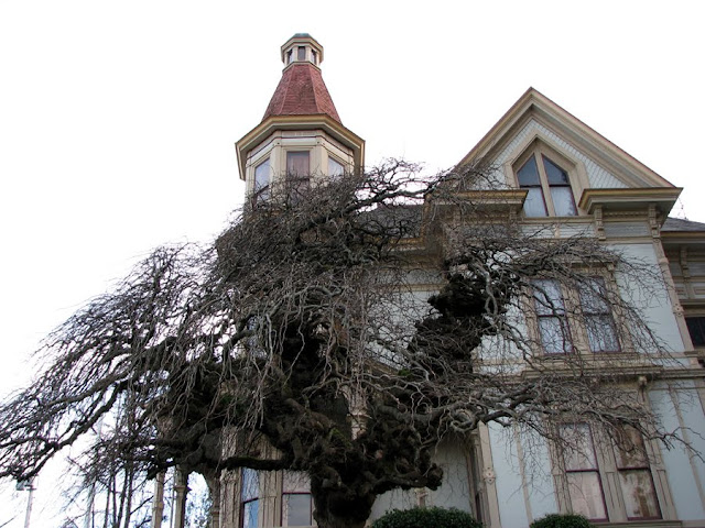 A tree in front of the Flavel House, Astoria, Oregon