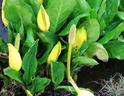 Western Skunk Cabbage in Warrenton, Oregon