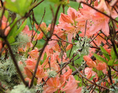 Azaleas in the Rain, Astoria, Oregon