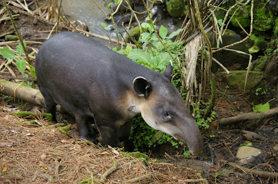 Baird's Tapir at La Marina Rescue Center, Costa Rica