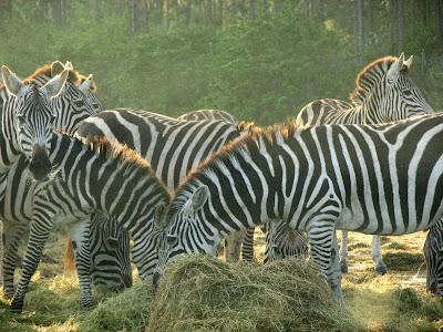 Zebras at Lion Country Safari near Miami, Florida
