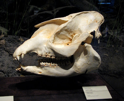 Baird's tapir skull cast, San Diego Museum of Natural History