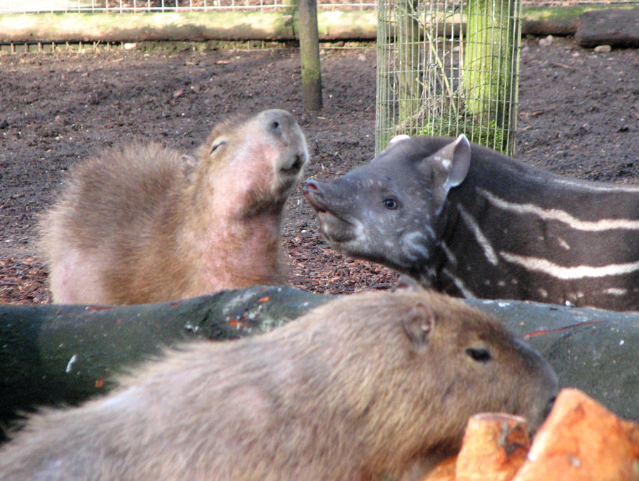 Ronnie the baby lowland tapir with capybara friend at Dudley Zoo, England