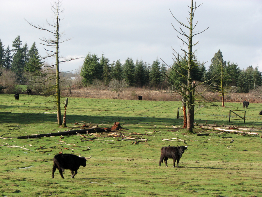 Cows in Washington, I-5 Corridor