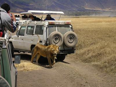 Imagini Tanzania: leu in Ngorongoro