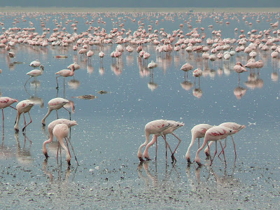 Imagini safari: flamingo pe lac Nakuru