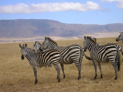 Safari Tanzania: zebre in Ngorongoro