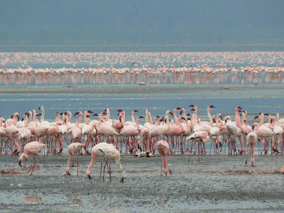 Safari: flamingo pe lacul Nakuru