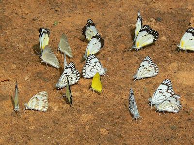 Imagini Mali: fluturi africani din Pays Dogon